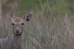 Sika rogacz, jeleń, łania, łydkowy portret podczas gdy w długiej trawie zdjęcia royalty free