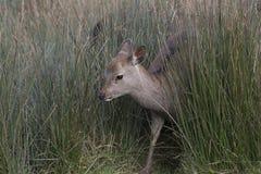 Sika rogacz, jeleń, łania, łydkowy portret podczas gdy w długiej trawie fotografia stock