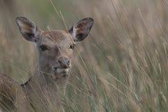Sika rogacz, jeleń, łania, łydkowy portret podczas gdy w długiej trawie obrazy stock