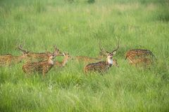 Sika or spotted deers herd in the elephant grass Royalty Free Stock Photos