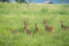 Sika or spotted deers herd in the elephant grass Stock Images