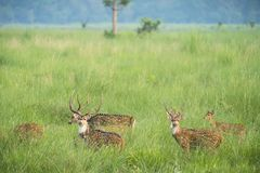 Sika or spotted deers herd in the elephant grass Stock Image