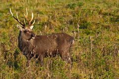 Sika stag calling in the rutting season Royalty Free Stock Photography