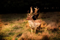Sika stag deer Royalty Free Stock Photos
