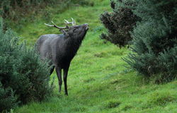 Sika stag deer. Stock Image