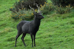 Sika stag deer. Royalty Free Stock Images