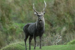 Wild sika stag deer. Stock Photo