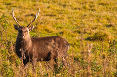 Sika stag in scrub on arne peninsular dorset Stock Images