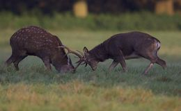 Sika stags Stock Photo