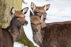Sika in winter Royalty Free Stock Photography