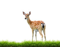 Sikadeer with green grass isolated. On white background Royalty Free Stock Photography