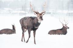 Sikadeers, nippon, bevlekte herten van Cervus, die in de sneeuw lopen stock fotografie