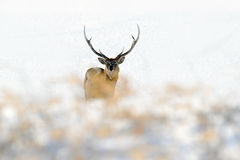 Sikaherten van Hokkaido, nippon yesoensis van Cervus, in de witte sneeuw, de de winterscène en het dier met geweitak in de aardha Stock Foto's
