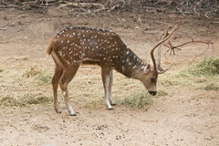 Sikahirsche im Zoo, Lizenzfreies Stockfoto