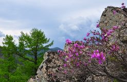 Sikhote-Alin and rhododendrons Royalty Free Stock Photo