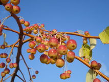 Sikkim crabapple ripening berries, on blue sky Royalty Free Stock Image