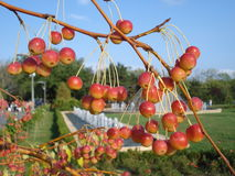 Free Sikkim Crabapple With Ripening Berries, In Park Stock Image - 36772711