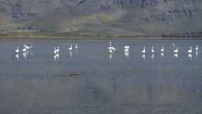 Sikt över Berufjordur, på Ring Road, Island med whooperen Arkivbilder