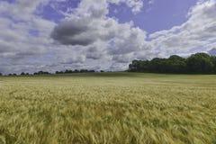 Sikt över vetefältet fotografering för bildbyråer