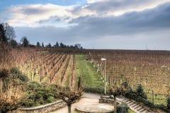 Sikt över vingårdarna i Hochheim, Tyskland royaltyfria foton