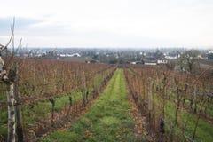 Sikt över vingårdarna i Hochheim, Tyskland Arkivbilder