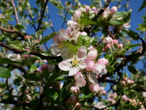 Sikt av äppleblomningen Royaltyfria Foton