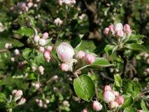 Sikt av äppleblomningen Arkivfoto
