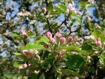 Sikt av äppleblomningen Fotografering för Bildbyråer