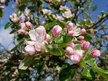 Sikt av äppleblomningen Royaltyfri Fotografi