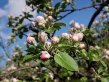 Sikt av äppleblomningen Royaltyfria Bilder