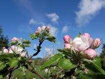 Sikt av äppleblomningen Royaltyfri Foto