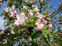 Sikt av äppleblomningen Arkivfoton
