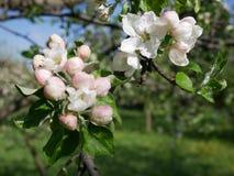 Sikt av äppleblomningen Royaltyfri Bild