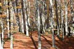 Sikt av bokträdskogen Arkivfoton