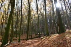 sikt av bokträdskogen som är upplyst vid solen Arkivbild