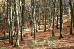 sikt av bokträdskogen som är upplyst vid solen Royaltyfria Bilder