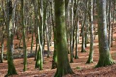 sikt av bokträdskogen som är upplyst vid solen Royaltyfri Fotografi