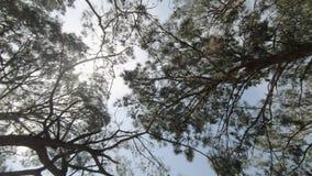 Sikt av de härliga och högväxta barrträden som badas i solen arkivfilmer