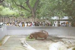 Sikt av den flodhästDusit zoo, fotografering för bildbyråer