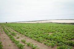 Sikt av den gröna kolonin i fältet Royaltyfria Bilder