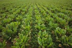Sikt av den gröna kolonin i fältet Royaltyfria Foton