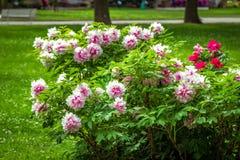 Sikt av den härliga trädgården med grön gräsmatta och blommande trädpioner arkivfoto