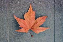 Sikt av den ljusa orange lönnlövet på en grå bakgrund royaltyfri foto