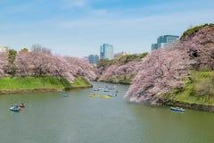 Sikt av den massiva körsbärsröda blomningen i Tokyo, Japan som bakgrund Ph Royaltyfri Bild