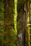 Sikt av den mossiga trädstammen i regnskog för gammal tillväxt i Vancouver Arkivfoto
