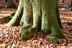 sikt av den stora bokträdstammen som täckas med grön mossa Fotografering för Bildbyråer