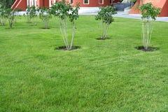 Sikt av denansade gröna gräsmattan och de lila buskarna royaltyfri foto