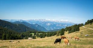 Sikt av det alpina berget som är scenary med betade kor på en sommardag Dolomitesberg, södra Tyrol, Italien Royaltyfri Foto