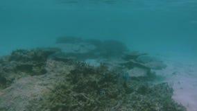 Sikt av det gulliga lilla fisknederlaget under korall snorkeling Undervattens- v?rld av Indiska oceanen lager videofilmer