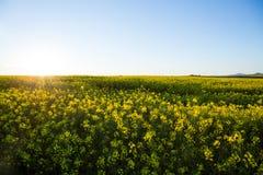 Sikt av det härliga senapsgula fältet Fotografering för Bildbyråer